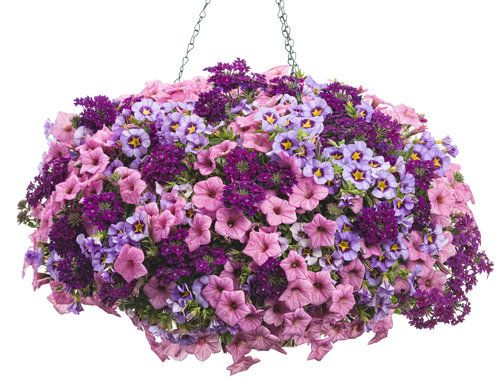 Happy Dance | Superbells Evening Star Calibrachoa, Supertunia Flamingo Petunia, Superbena Royale Plum Wine Verbena
