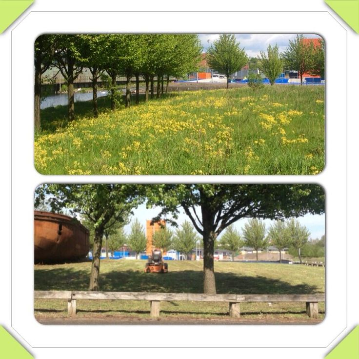 Glasgow - Before and After pic of a verge full of cowslips by @Monica Wilde.