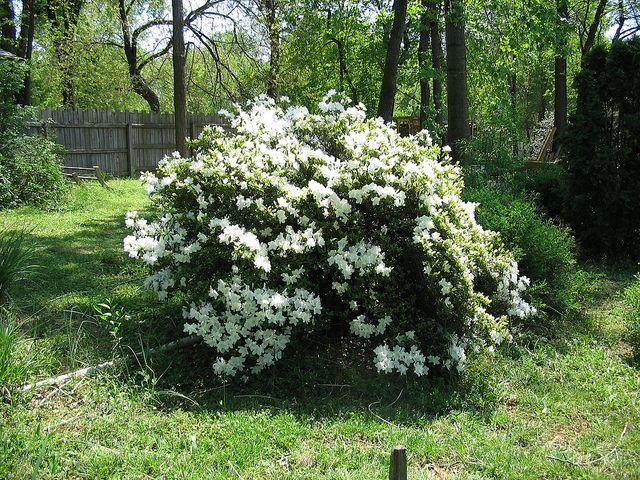 Azalea by Behnke Nurseries, Inc, via Flickr Typical mid- to large-growing Azalea shape: rounded. Compact types tend to be shorter and wider than they are tall.