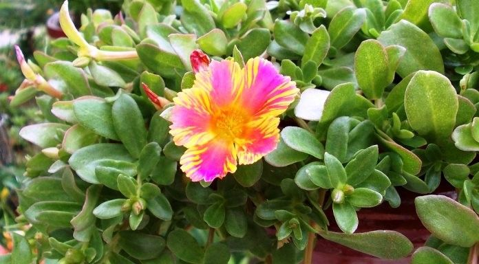 Φυτά για μπαλκόνια και κρεμαστά καλάθια