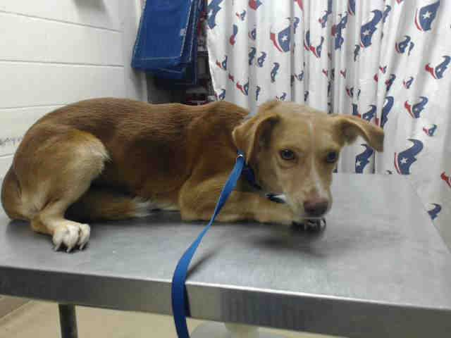 ~~TIME'S UP WED., 11/16/16!!~~  This DOG - ID#A472111   must have and adoption hold by 5:30pm OR a rescue hold by 5:50pm I am a male, brown and white Dachshund mix.  The shelter staff think I am about 2 years old. Harris County Public Health and Environmental Services.     https://www.facebook.com/petsofharriscountyanimalshelterhouston/videos/1304007072996421/