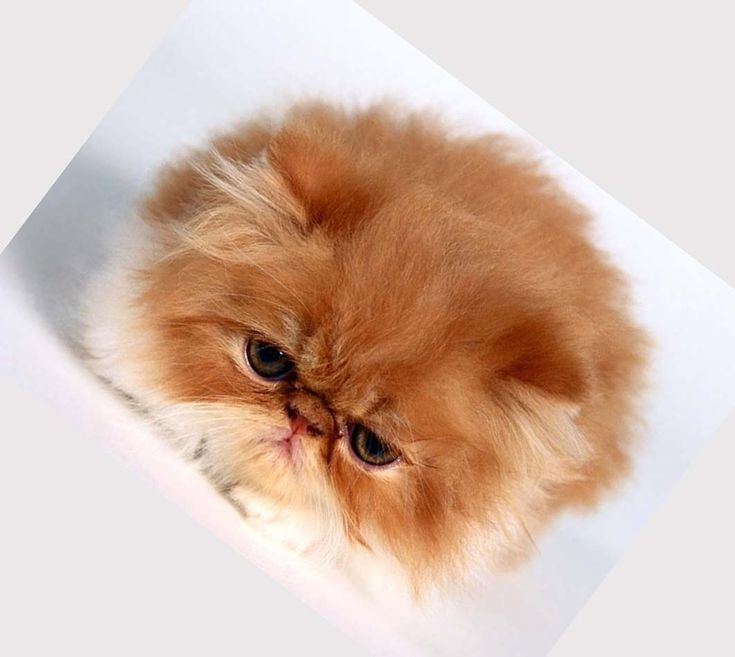 persian fluffy cat breeds