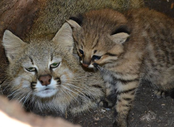 PAMPAS CAT.....found in South America's Andes mountains in areas ranging from grasslands to swamps and forests.
