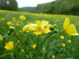 Bildergebnis für butterblume