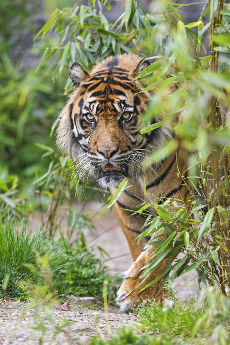 best 25 tiger world ideas on pinterest tigers in the wild