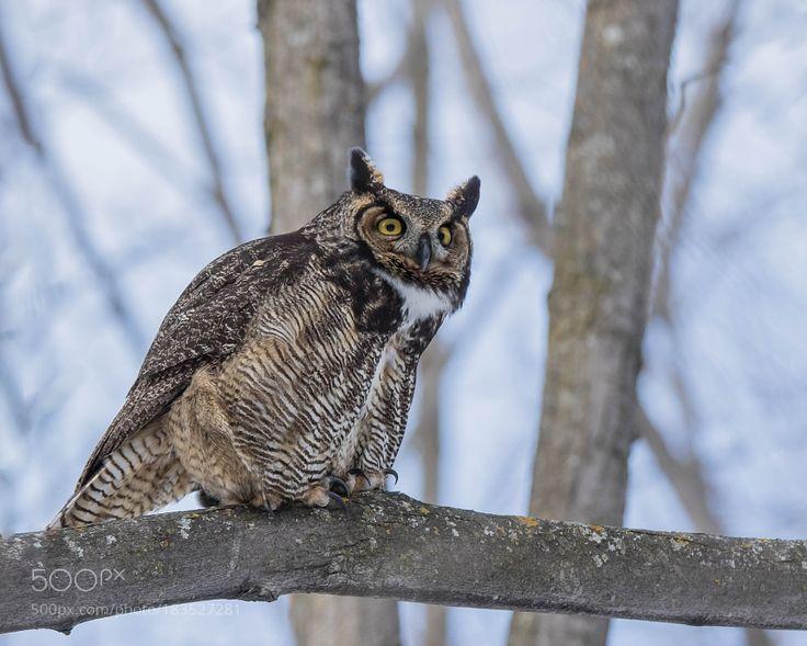 Great horned owl - Grand duc d'amérique by franstonge via http://ift.tt/2g0yYq0