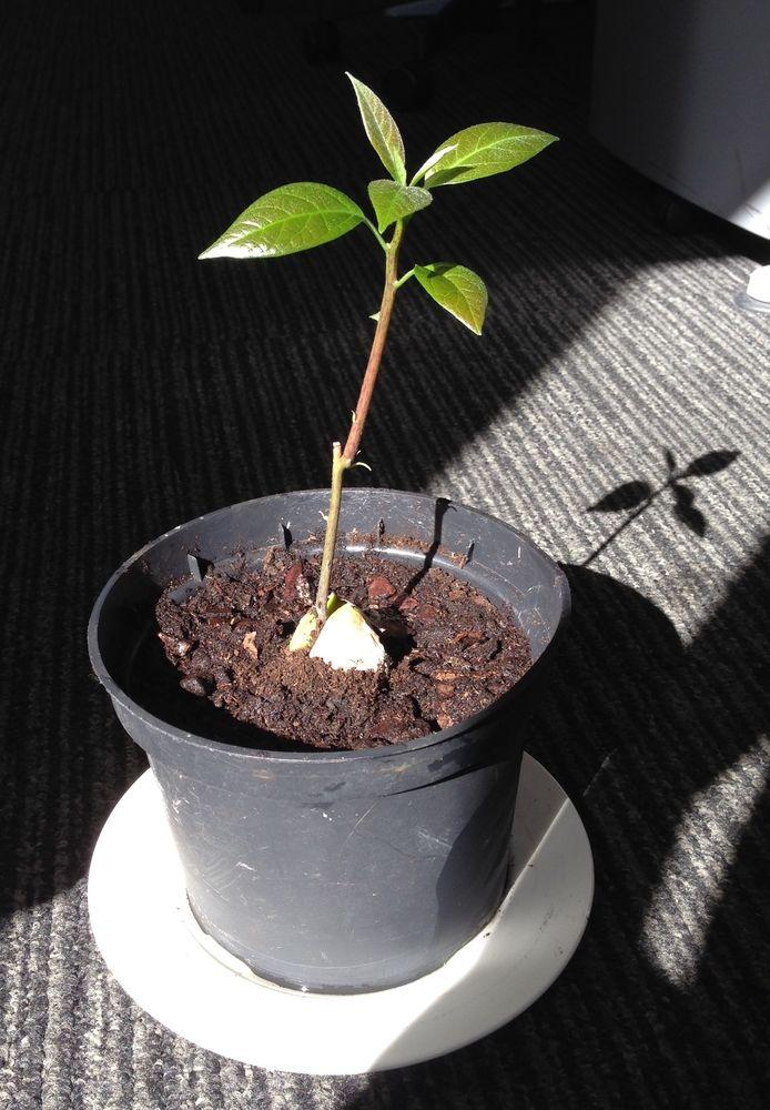 Planter Un Noyau D Avocat Dans La Terre Voici Comment Proceder