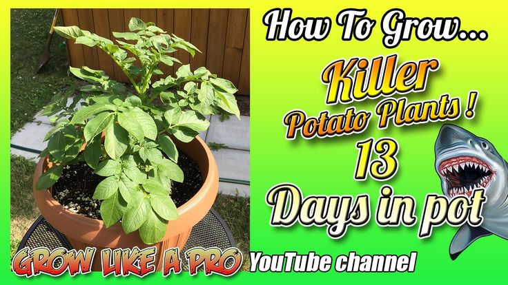 How To Grow A Potato Plant In A Pot   Update 3