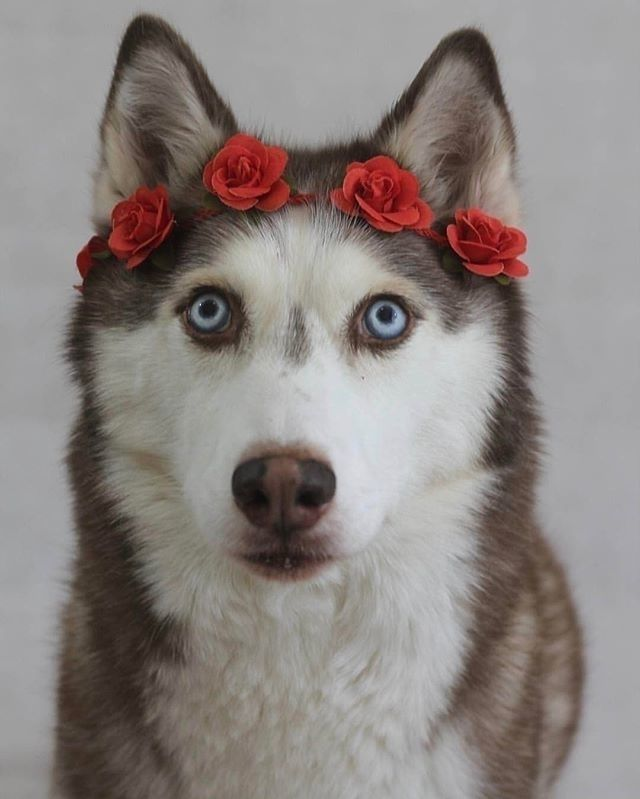 1 539 Likes 9 Comments Husky Lover Husky Lovely102 On