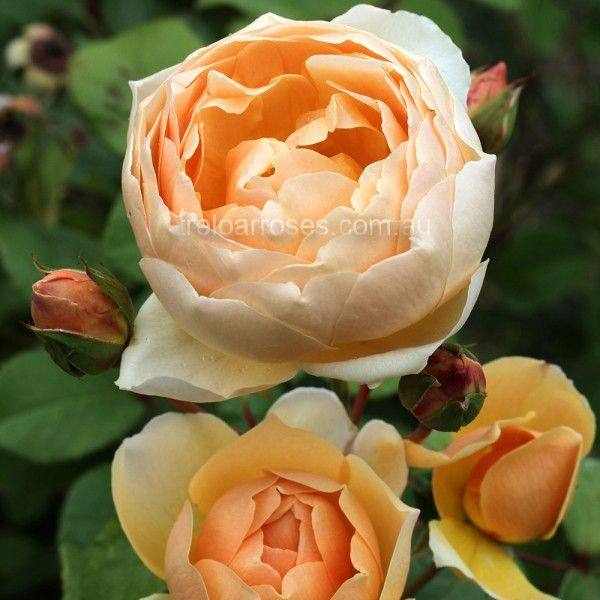 Jude The Obscure* - Premium Roses For Australian Gardens