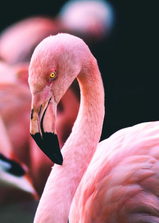 Greater Flamingo (Phoenicopterus roseus). Austria e. to China, s. to South Africa. Golden Eye (by Matthias Janssen). drxgonfly