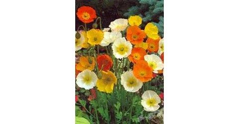 The radiant white, pink, yellow or orange flowers are 10cm across!!  They produce dazzling splashes of color when planted in mass.