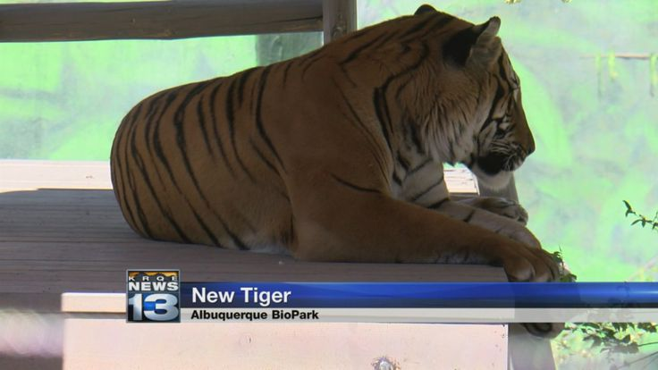 Albuquerque BioPark introduces new Malayan tiger.  The BioPark has a new member on Feb. 24, a Malayan tiger. Penari is 6-years old, and made his way to Albuquerque from the Jacksonville Zoo. After their Bengal tiger, Scout, died last year, the zoo decided to adopt the critically endangered Malayan tiger to help conserve the species which has less than 500 in the wild.  http://krqe.com/2017/03/20/albuquerque-biopark-introduces-new-malayan-tiger/  #RioGrandeInn #Albuquerque #biopark #tiger