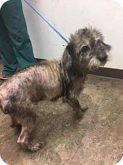 New York, NY - Standard Schnauzer. Meet Olivia an 8yr.old senior dog for adoption at Rescue Dogs Rock. http://www.adoptapet.com/pet/16972267-new-york-new-york-standard-schnauzer. Olivia was brought into animal control with fleas & mange. She also has mammary tumors which will need to be addressed when she is feeling better & her skin has healed. She will be available for adoption once she is healthy.