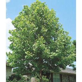 13.35-Gallon Sycamore Tree Shade Tree (L1049) Nursery