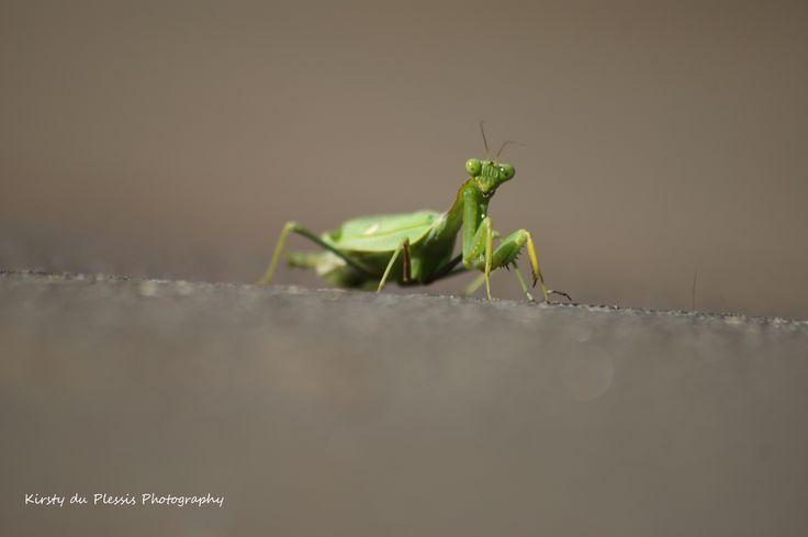 beady eyed pray mantis