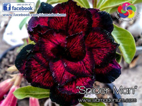414 best adenium images on Pinterest Desert rose, Deserts and