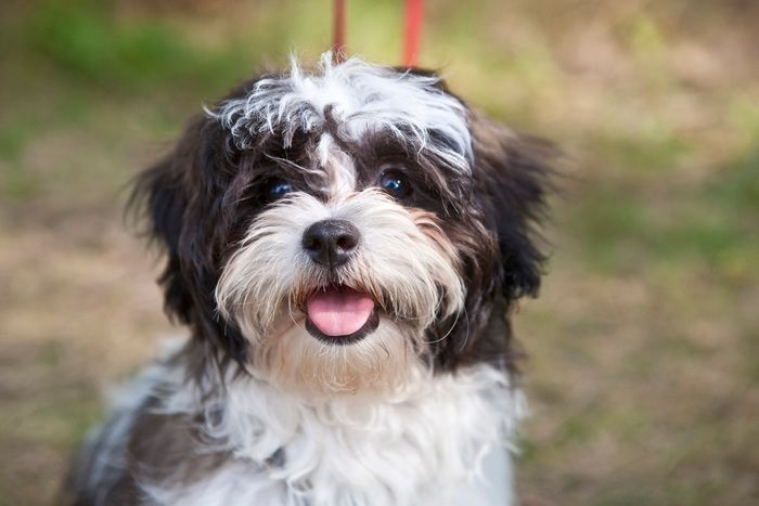 Everything you want to know about Shih Tzus including grooming, training, health problems, history, adoption, finding good breeder and more.