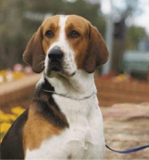 dogbreeds4.blogspot: American Foxhound