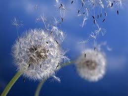 Pensando em um desejo...e soprando um dente-de-leão...