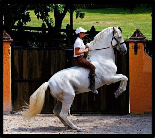 Cavalo a fazer a levada só com o cabeção! #horses #Levade
