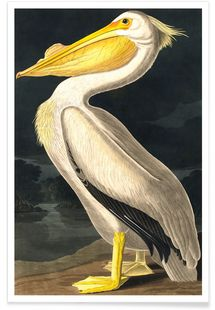 American White Pelican (by List Collection) - John James Audubon - Premium poster