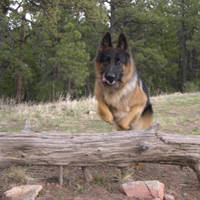 Begin guard dog training early in a German Shepherd's life.