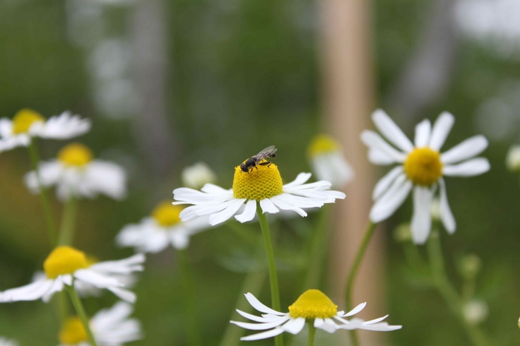 Chamomile is a prolific re-seeder, but smells like fresh apples, attracts beneficials and pollinators and can be easily dried for tea. What's not to love??Beneficial Buggy, Attraction Beneficial, Gardens Gleaning, Chamomile, Food Gardens, Gardens Blunder, Veggies Gardens, Flower, Gardens Growing