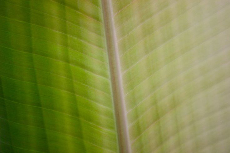 The last banana leaf photo was popular, so here's a new one. This is about four leaves later (they come every 3 weeks or so), and was strangely banded, very pale on the right, with discrete levels of greenness towards the left margin. The blush, a feature of this species (M. sikkimensis) is more apparent now it's the summer (I think it develops in response to higher light levels). I will move this plant into the greenhouse soon.  Canon 300D, EF-S 18-55mm f/3.5-5.6 II 42mm, f/...