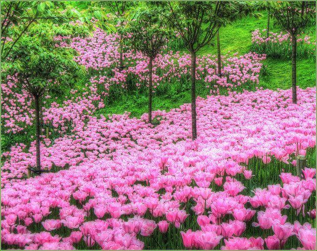 Tulips, Alnwick Gardens, Northumberland, England b...