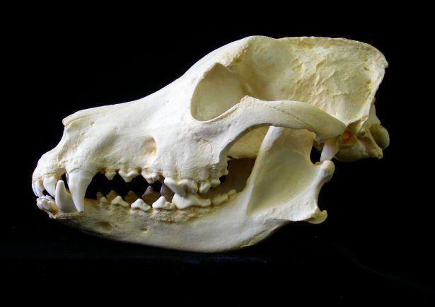 Dog skull. (Image taken from www.angelfire.com)