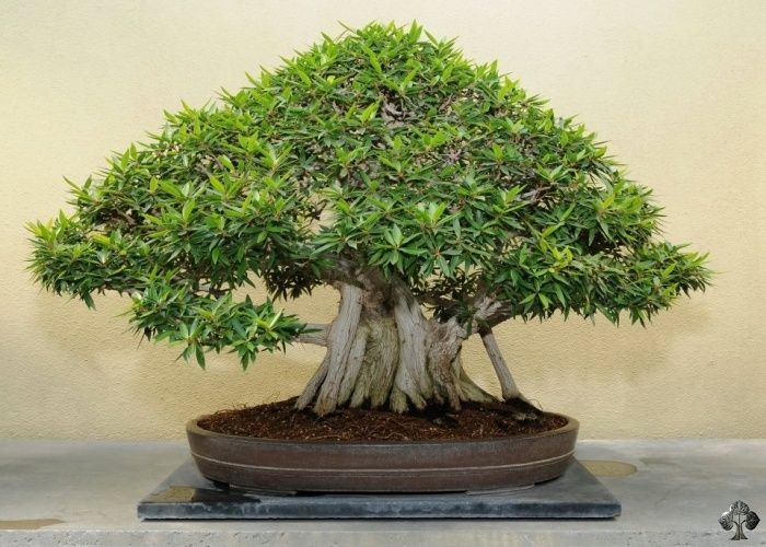 The Ficus is tolerant to low humidity and can withstand quite a lot; a good choice for beginners.  Other popular indoor bonsai trees include the Crassula (Jade), the Ligustrum (Privet), the Carmona (Fukien Tea), the Schefflera Arboricola (Hawaiian Umbrella) and the Sageretia (Sweet Plum).