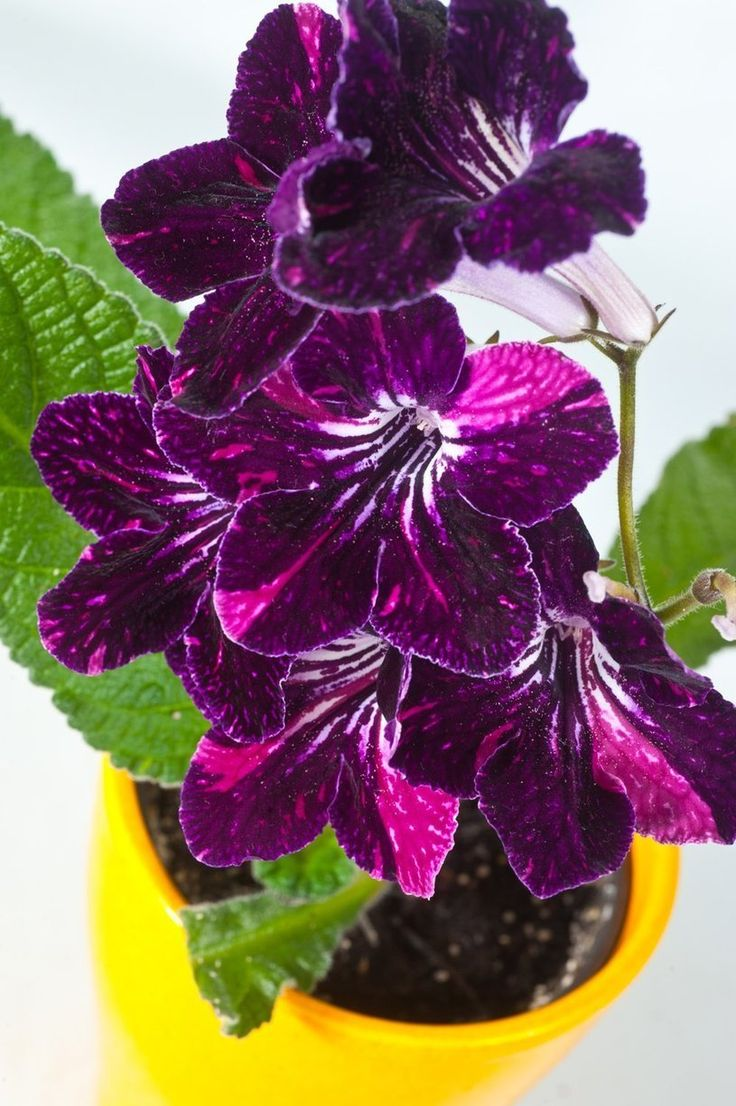5 cheery easy to grow indoor flowering plants - Flowering House Plants Purple