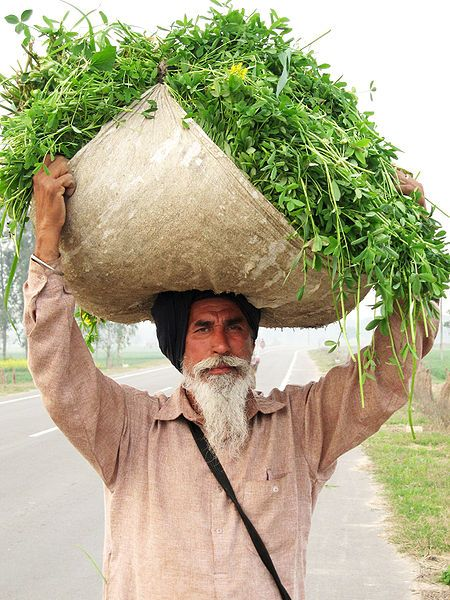 Punjabi Farmer, India, 2013-11-17.