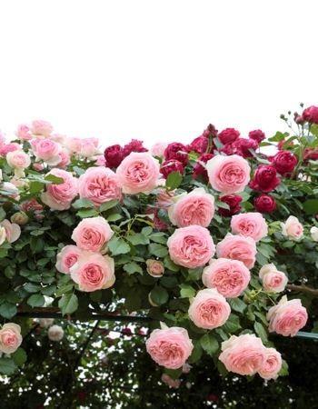 Des rosiers en pleine santé : L'argile : 21 façons de l'utiliser pour entretenir la maison et le jardin - Linternaute