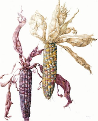 Zea mays ~ Indian Corn