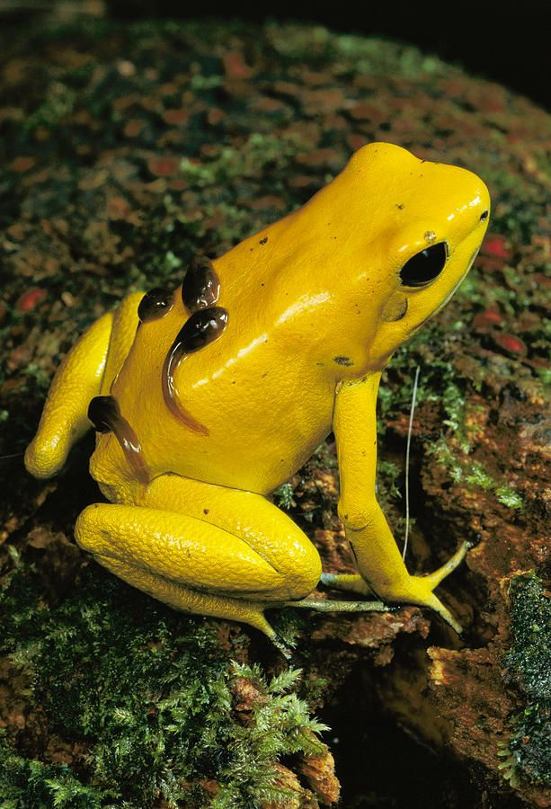 Golden Poison Frog Phyllobates terribilis (Dendrobatidae) is as species of frog known only from tiny areas in the Amazonian rainforest along the Pacific coast of Colombia. It is well-known as a babysitter.