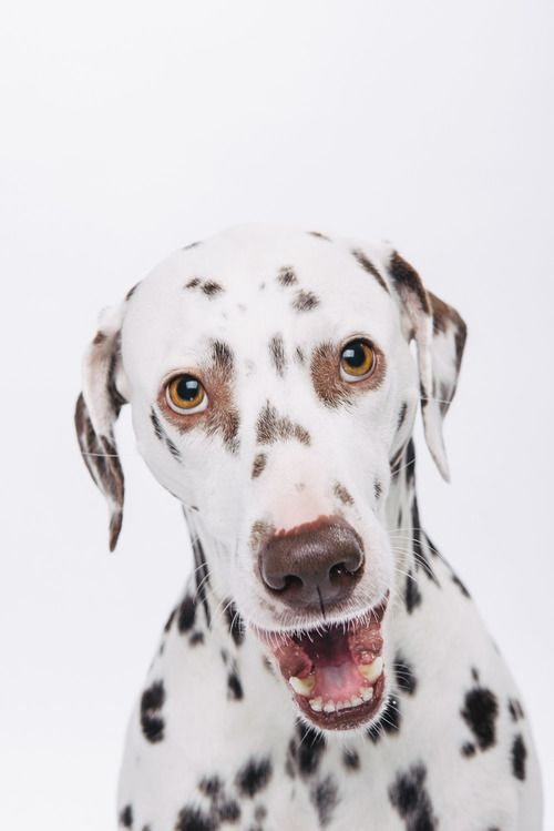 Maya  #schnappschuss #dalmatiner #pfotentick #hundefotografie #fotostudio #hundeblog #hund #dog #photography #dalmatian