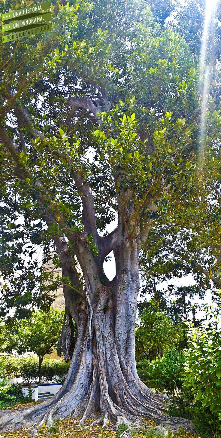 Magnífica Magnolia (Magnolia Grandiflora) de los Jardines de Murillo, Sevilla. Punto de interés por su variedad botánica. http://es.wikipedia.org/wiki/Jardines_de_Murillo#Variedad_bot.C3.A1nica_de_los_Jardines_de_Murillo