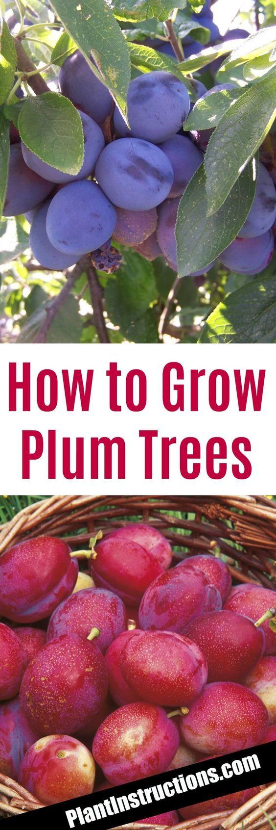 How to Grow Plum Trees