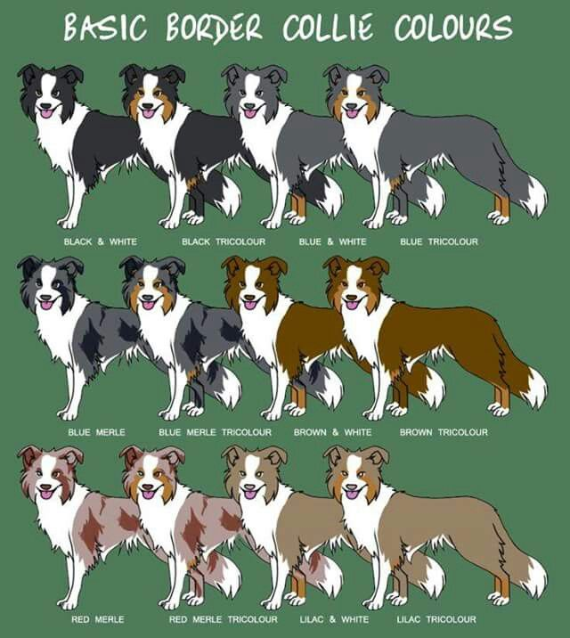 Basic Border Collie Colours