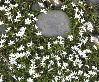Pratia angulata - White Star Creeper NZ native plant.  Under the Gardenias
