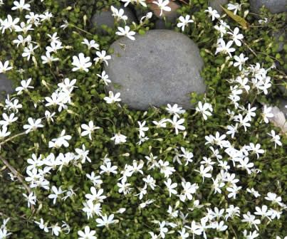 Ground Cover - Zone 7 Pratia angulata - White Star Creeper