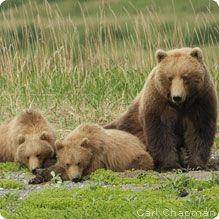 Grizzly bear. (2012). National Wildlife Federation. Retrieved from http://www.nwf.org/wildlife/wildlife-library/mammals/grizzly-bear.aspx