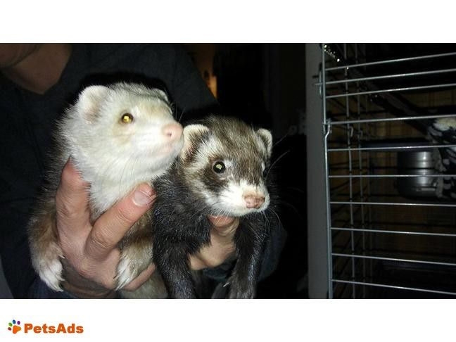 Two loving Female Ferrets (100.00 for both) I have two loving female ferrets. They both are 3 years old. Zoe is cinnamon colored, Mischief is chocolate colored. They are ...