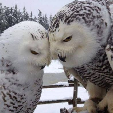 Snowy Owls - love you more...