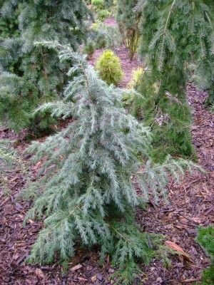 Conifer Trinomial: Cedrus deodara 'Devinely Blue' | American Conifer Society maybe planted ad ML purchases from singing tree gardens 9/09