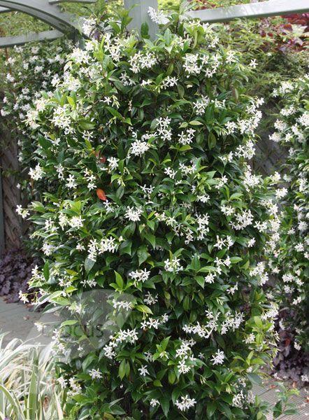 Trachelospermum jasminoidesΑειθαλές αναρριχώμενο φυτό με πράσινα δερματώδη φύλλα. Στο τέλος της άνοιξης και πολλές φορές το Σεπτέμβριο έχει λευκά και αρωματικά άνθη. Ο ρυθμός ανάπτυξης του φυτού είναι ταχύς. Αναπτύσσεται σε ηλιόλουστες ή ημισκιασμένες θέσεις και σε γόνιμα μέτρια υγρά εδάφη. Φυτεύεται για να αναρριχηθεί σε πέργολες και φράχτες. Κατάλληλο και για παραθαλάσσιες φυτεύσεις. Πολλαπλασιάζεται με ημιξυλώδη μοσχεύματα στο τέλος του καλοκαιριού.