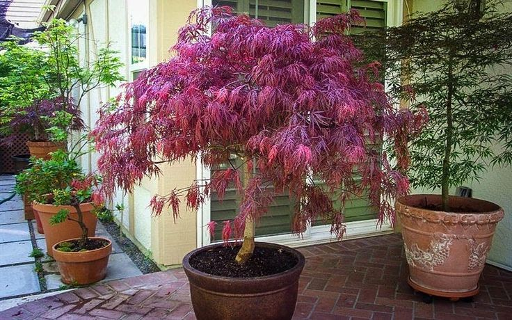 Red Dragon Japanese Maple | The Tree Center™