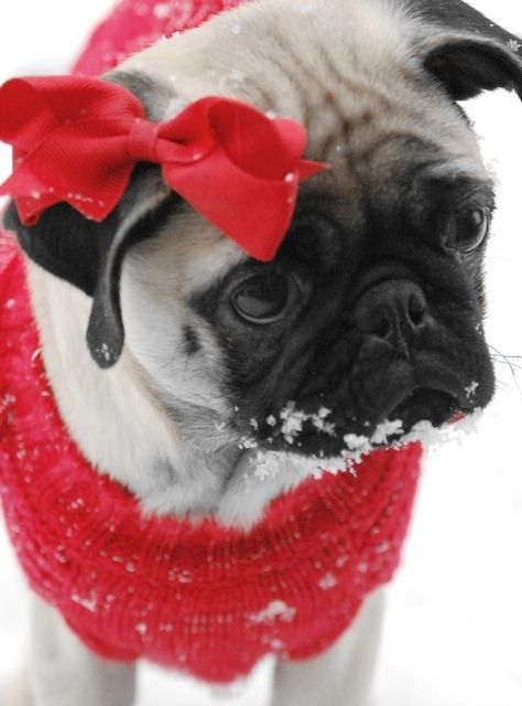 why do you do this to me?: Pet Photography, Little Red, Dogs, Christmas Presents, Puppys, Bows, Sweet Girls, Sweetheart Pugs, Christmas Pugs